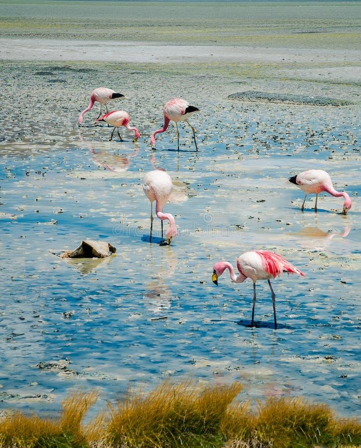 Fenicotteri nel lago fotografia stock libera da diritti