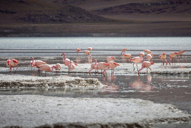 Fenicotteri nel livello di regione di altiplano nelle montagne delle Ande della Bolivia immagini stock