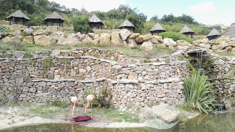 Fenicotteri nel parco naturale del ` s della Colombia fotografia stock