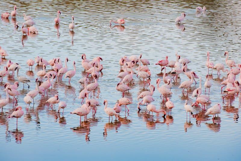 Fenicotteri parco nazionale nel lago Momela, Arusha, Tanzania fotografie stock libere da diritti