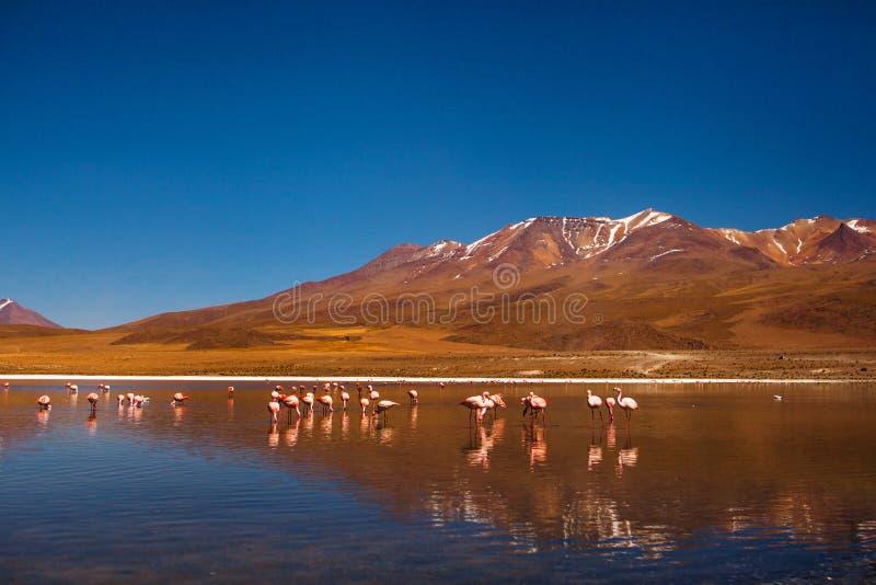 Fenicotteri in Reserva Eduardo Avaroa, altiplano della Bolivia Salar de uyuni fotografie stock