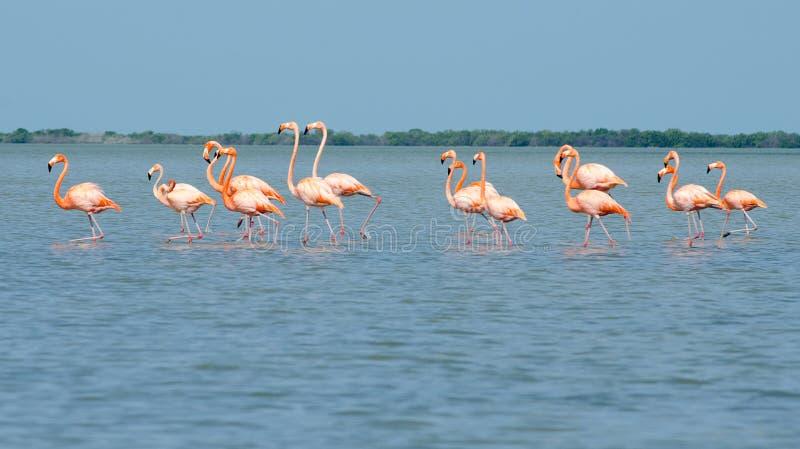 Fenicotteri rosa che camminano nella laguna fotografia stock