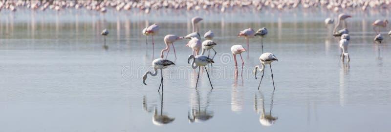Fenicotteri rosa e grigi nel lago del sale fotografia stock