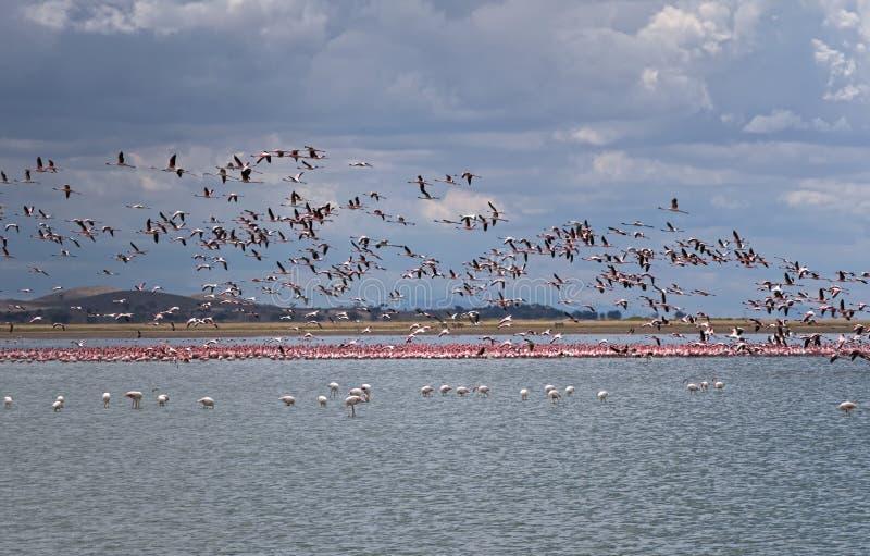 Fenicotteri rosa graziosi immagine stock