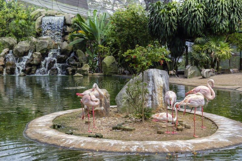 Fenicotteri rosa sul lago con una cascata nel parco dell'uccello di Kuala Lumpur fotografia stock libera da diritti