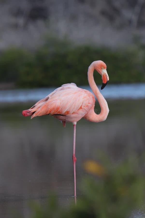 Fenicottero del Galapagos a riposo fotografia stock