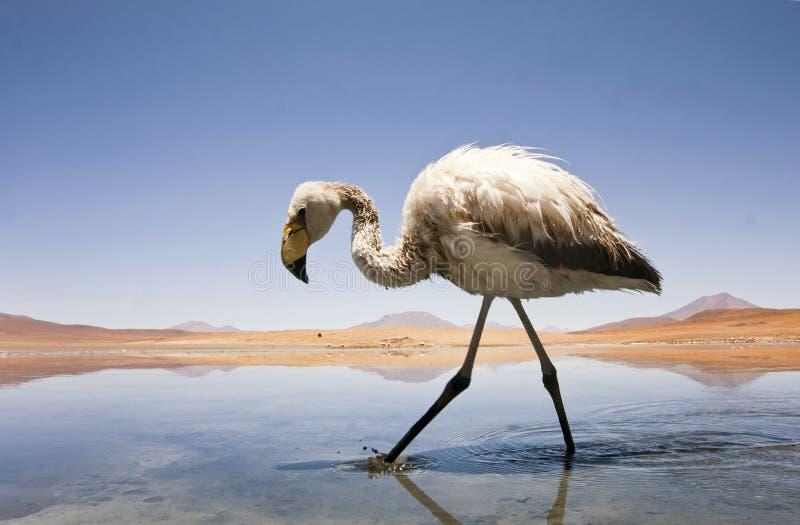 Fenicottero in lago fotografie stock libere da diritti