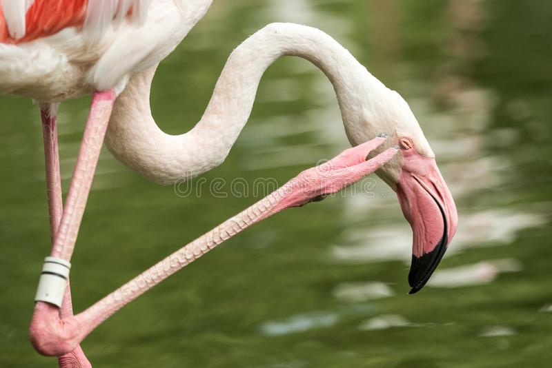 Fenicottero rosa allo zoo, phoenicopterus solo del fenicottero governante le sue piume, bello uccello rosato bianco vicino allo s immagini stock