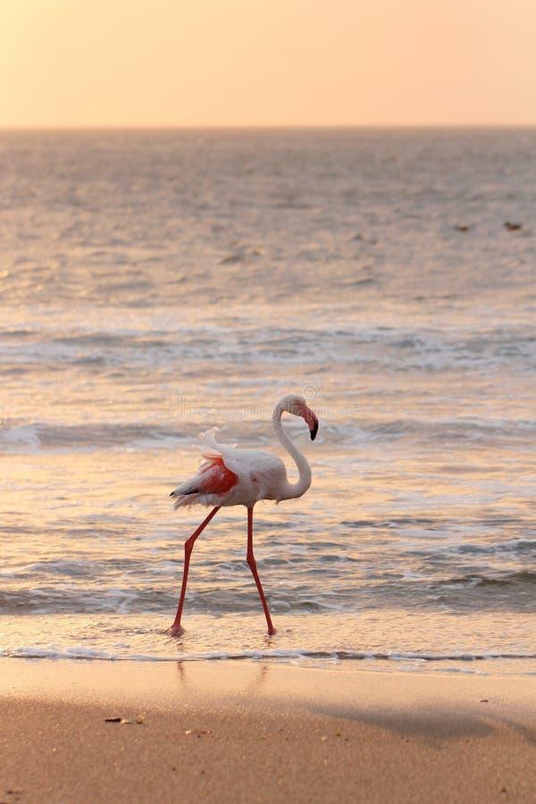 Fenicottero sulla spiaggia immagine stock