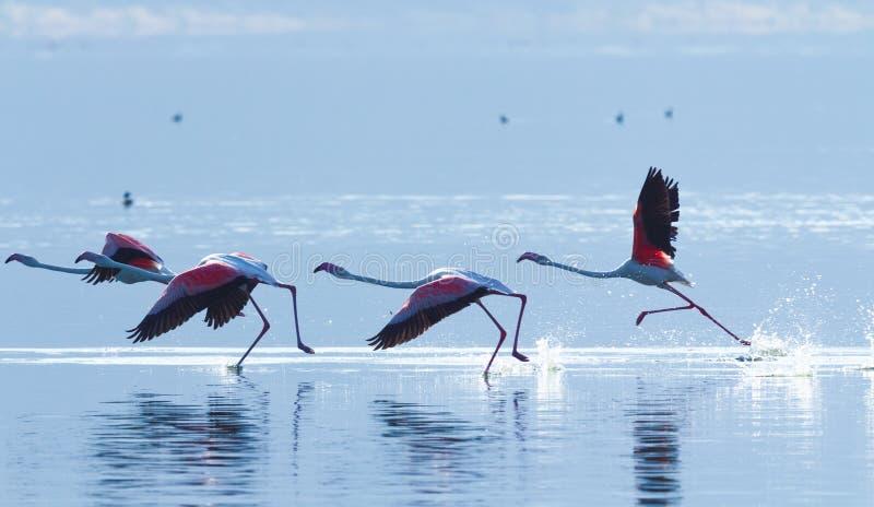 Fenicottero vicino al lago Bogoria, Kenya fotografia stock libera da diritti