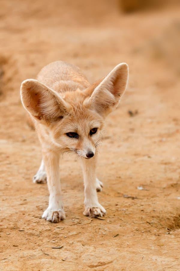 Fennec狐狸 库存图片