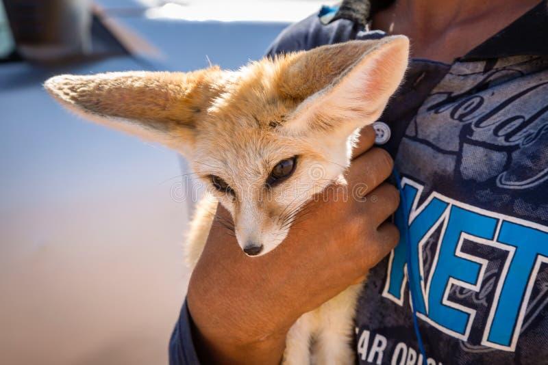 Fennec - ökenräv av Sahara royaltyfria foton