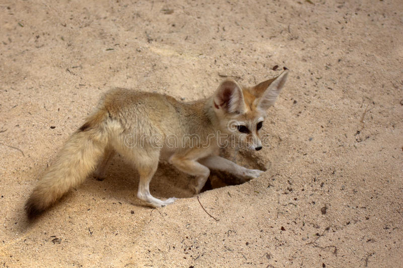 Fennec digging. Fennec Fox digging hole in desert sand. Ample text space above and right side royalty free stock images