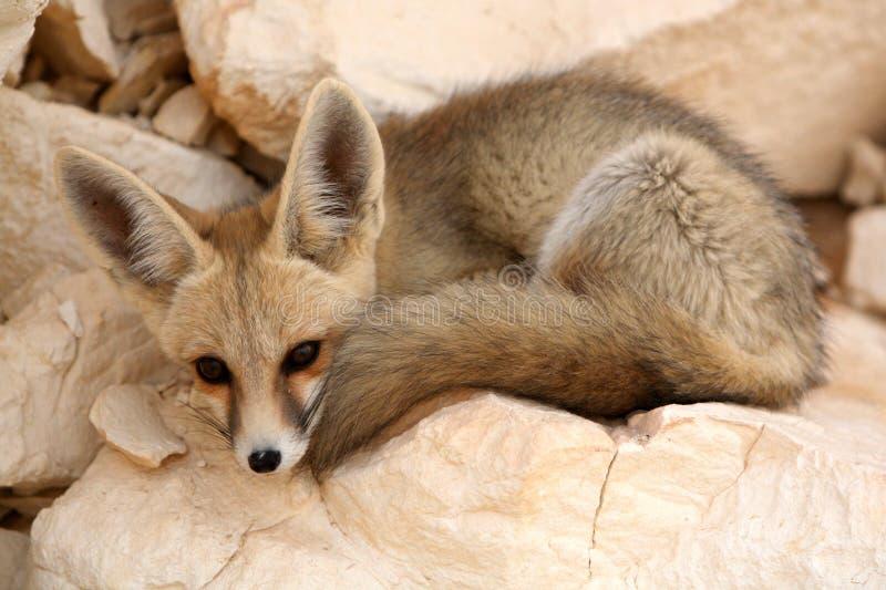 Fennec Fox休息 免版税库存图片