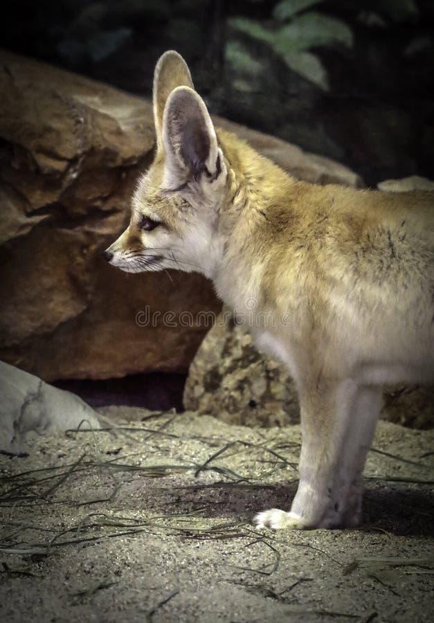 Fennec Fox stockfotografie