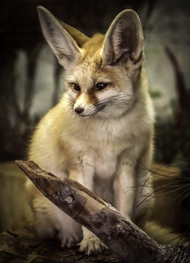 Fennec Fox lizenzfreies stockbild