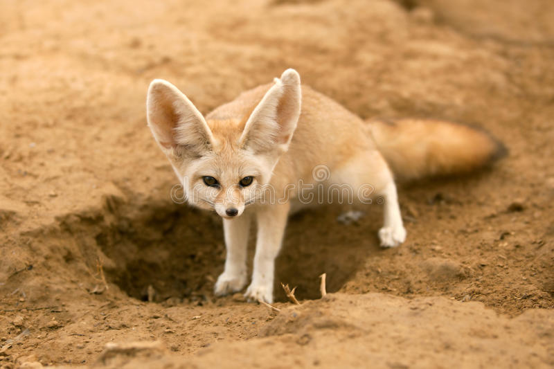 Download Fennec fox stock photo. Image of brown, mammal, camera - 17995378