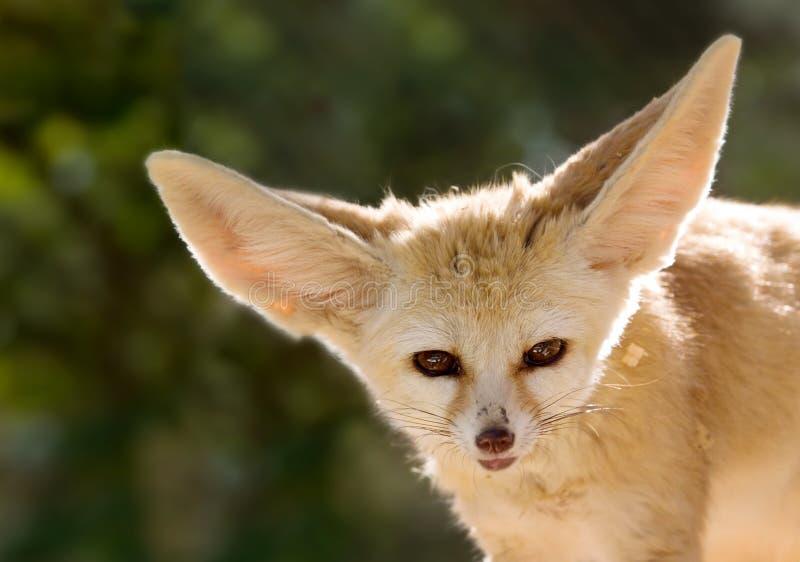 Download Fennec fox stock image. Image of nature, predator, wildlife - 1931709