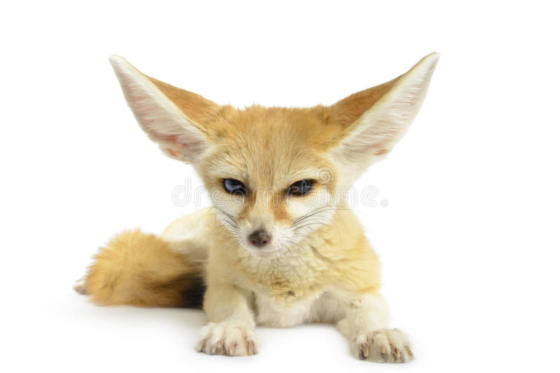 Fennec Fox. (Vulpes zerda) on white background