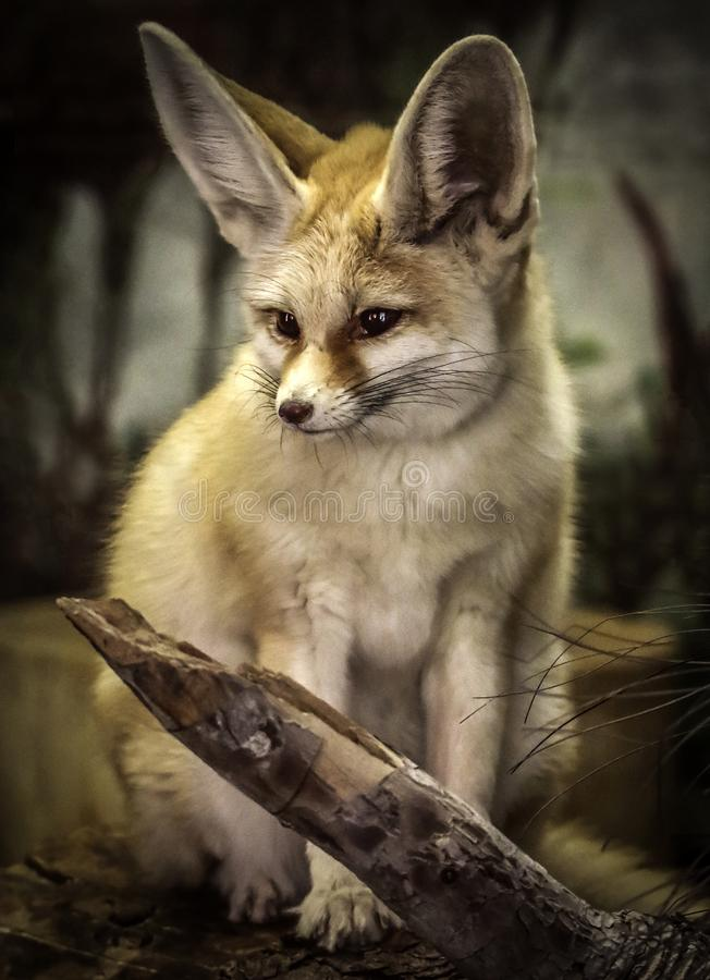 Fennec Fox. Close up detail of tiny North African, Asian canid looking left royalty free stock image