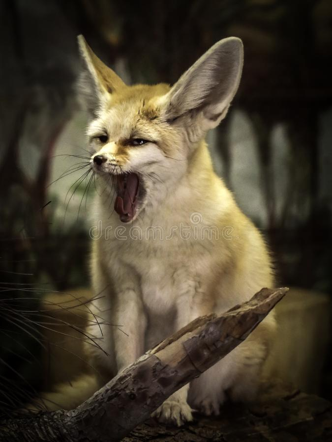 Fennec Fox. Close up detail of tiny North African, Asian canid looking left royalty free stock images