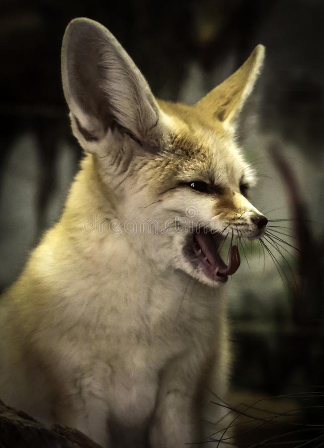 Fennec Fox. Close up detail of tiny North African, Asian canid looking right with open mouth stock photos