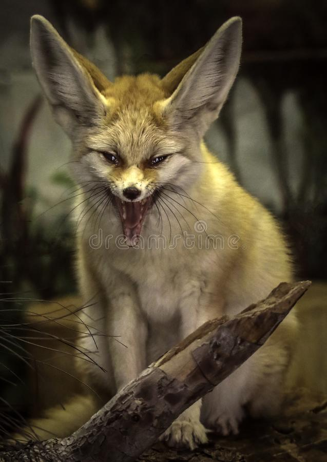Fennec Fox. Close up detail of tiny North African, Asian Canid with open mouth royalty free stock photos