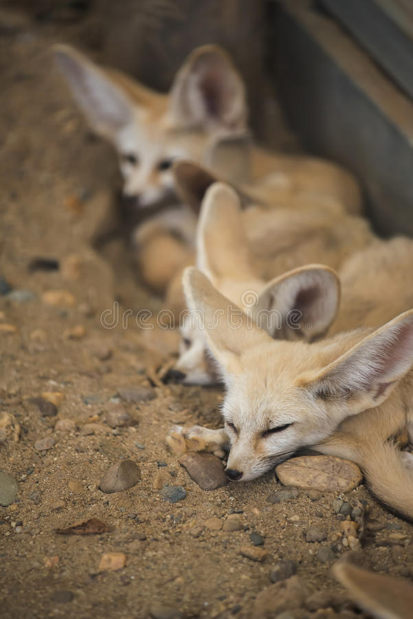 Fennec fox or Desert fox sleeping on the ground. Fennec fox or Desert fox sleeping on the ground stock photo