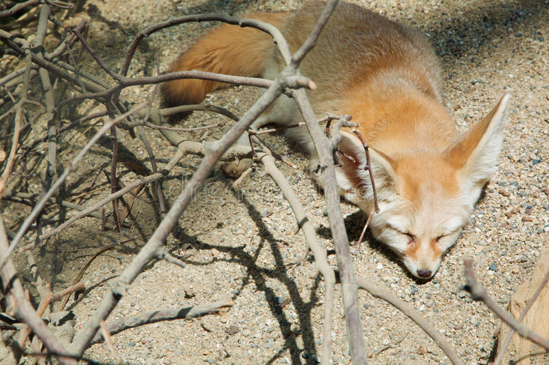 Fennec fox sleeping. A Fennec Fox sleeping on the ground royalty free stock photo