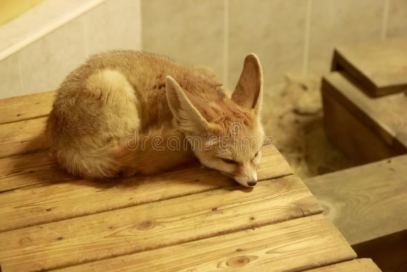 Fennec Fox sleeping. In Zoo royalty free stock photos