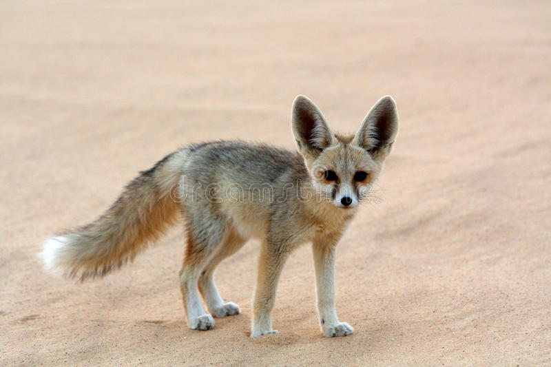 A Fennec Fox in the White Desert royalty free stock photography