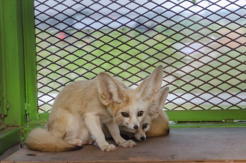 Fennec foxs στοκ εικόνα