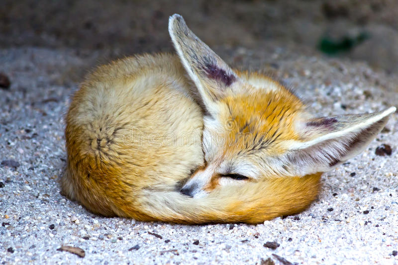 Fennecvos stock foto