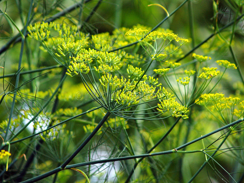 Fennel. The spice and vegetable fennel with blossoms royalty free stock photos