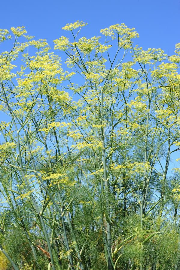 Download Fennel stock photo. Image of medicinal, fennel, plant - 28234138