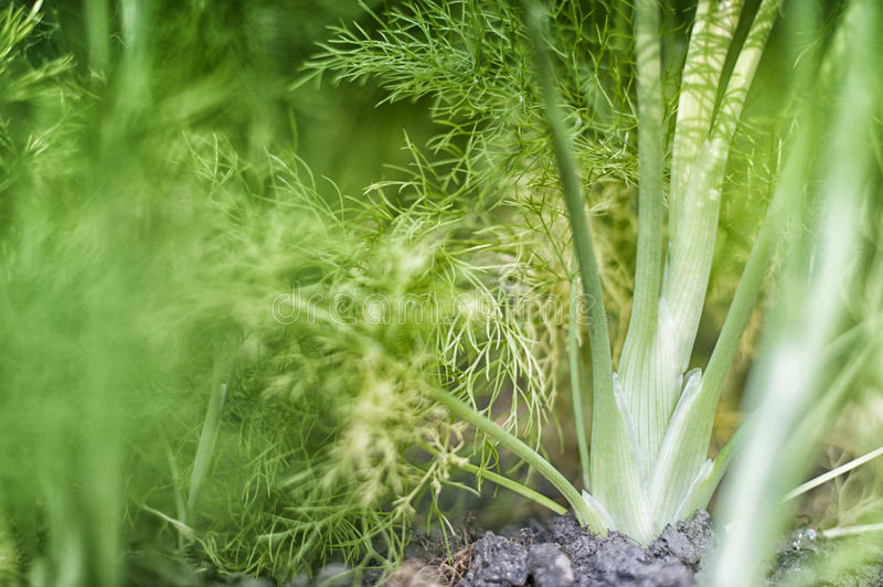 Fennel. Young fennel growing in a garden royalty free stock image