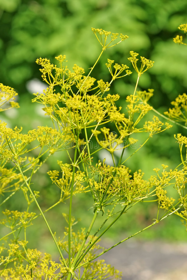 Free Fennel Royalty Free Stock Photography - 4598187