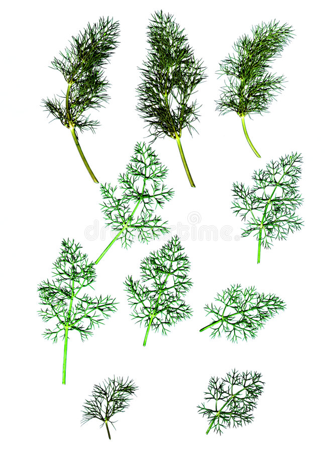 Fennel. Design elements - fennel leaves, a delicate ferny leaf and a herb stock photos