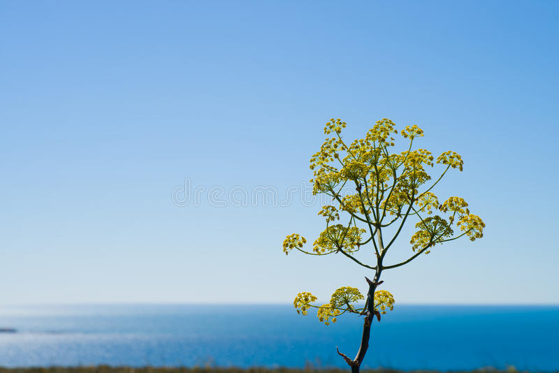 Fennel flower blossom stock images