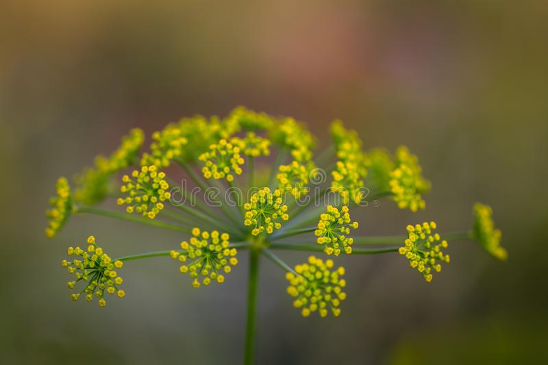 Fennel flower royalty free stock images