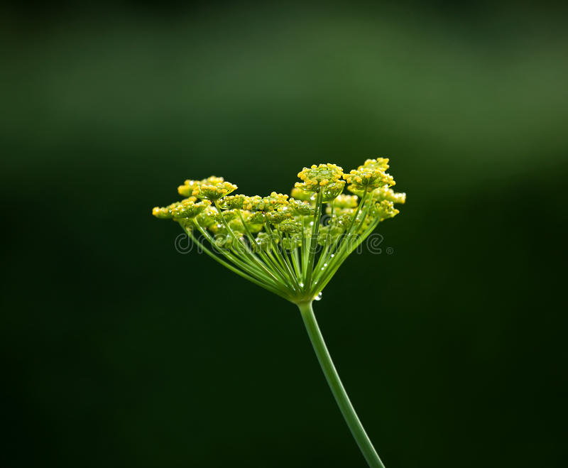 Download Fennel flower head stock photo. Image of green, water - 20450114
