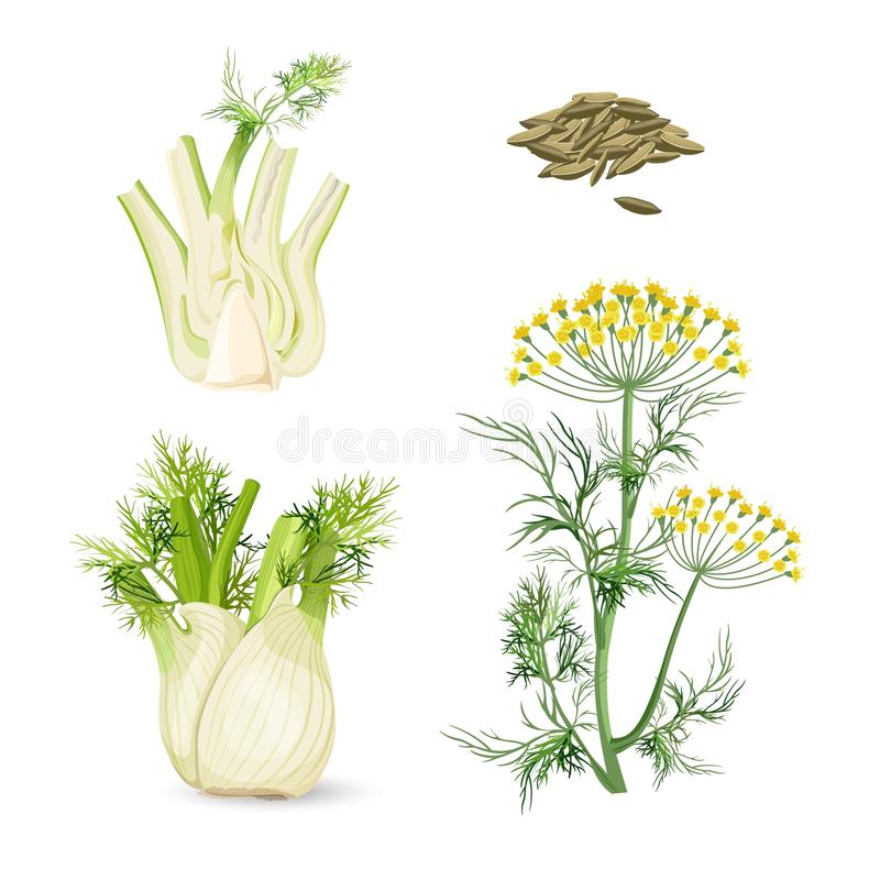 Fennel flowering plant perennial herb with yellow flowers, feathery leaves. Fennel flowering plant perennial herb with yellow flowers and feathery leaves, root royalty free illustration