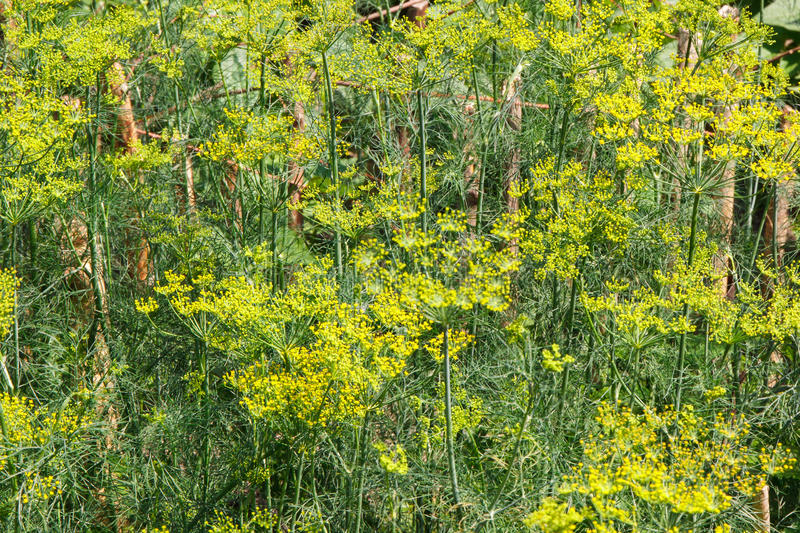 Download Fennel Growing In Home Garden, Culinary Dill In Garden Stock Photo    Image: