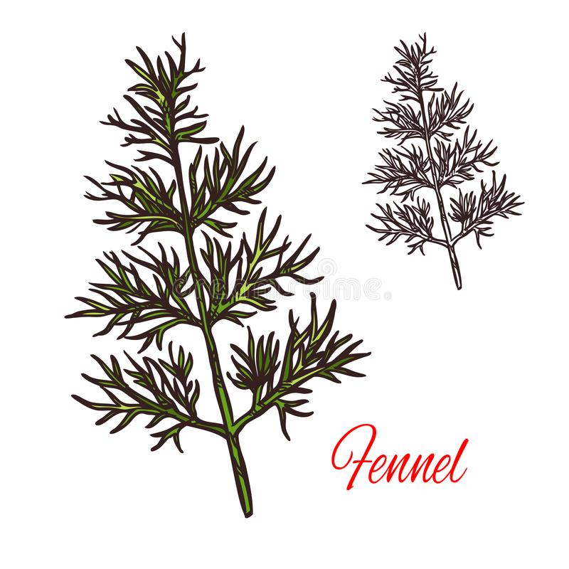 Fennel seasoning plant vector sketch plant icon. Fennel seasoning spice herb sketch icon. Vector isolated fennel herb plant for culinary cuisine cooking or vector illustration