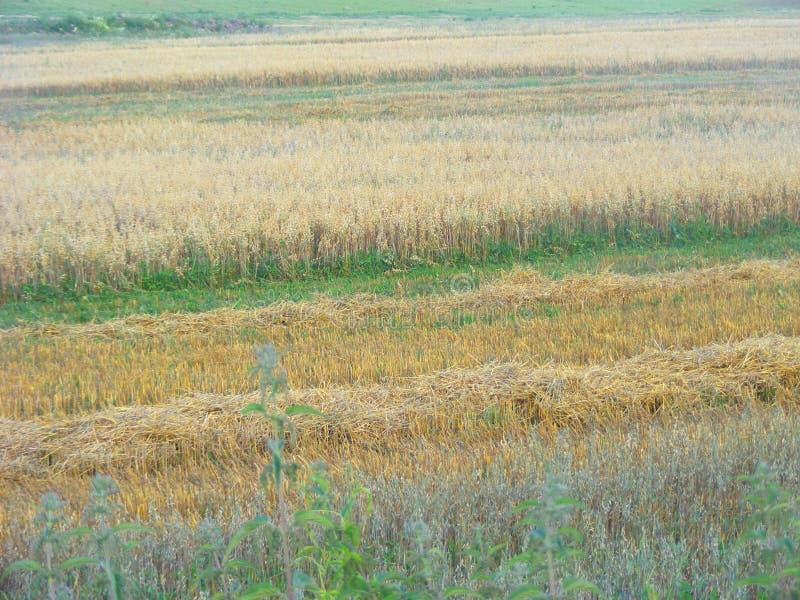 Feno cortado da aveia em um campo Campo do camponês, orelhas da aveia imagens de stock royalty free