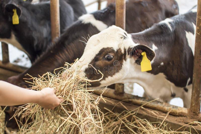 Feno de alimentação à vaca do bebê fotografia de stock royalty free