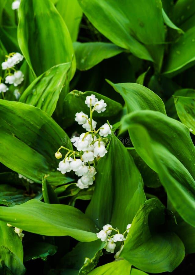Fenomeni boschivi: spessi fragranti spessi di fiori delicati a maggio e ad aprile fotografie stock libere da diritti