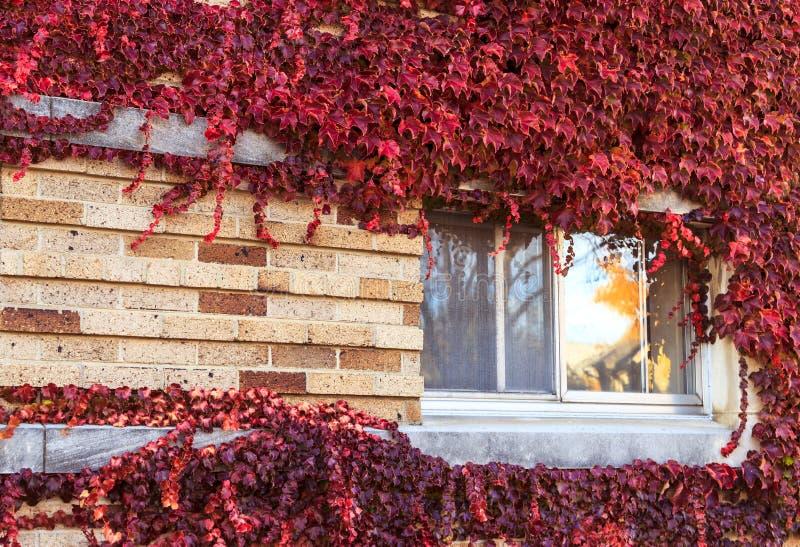 Download Fenster Auf Einer Wand Abgedeckt Mit Trauben Stockfoto - Bild von steigen, außen: 27731532