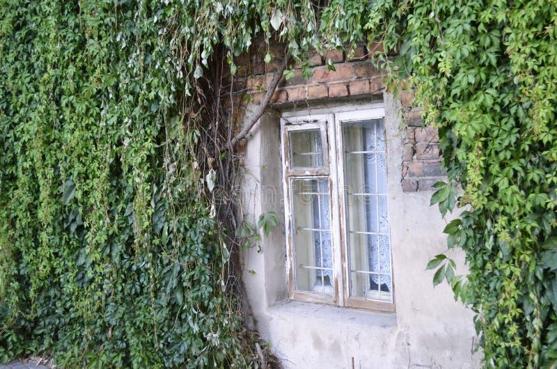 Fenster an der grünen Efeuwand lizenzfreie stockfotos