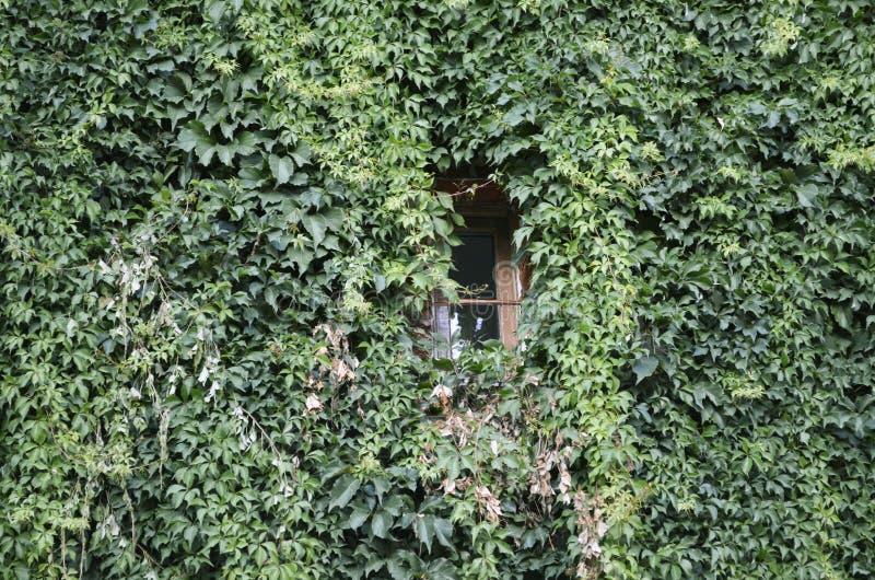Fenster an der grünen Efeuwand stockfotos